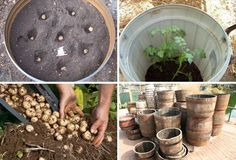 "After extensive research to plan my own ""barrel potatoes"", I've sorted out all of the recommendations down to 4 simple steps to a winning potato harvest:"