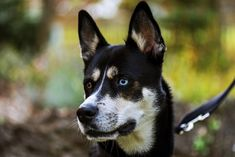 All things considered below you will discover some genuine facts about Husky mix the perfect decision for your family as combined two breeds to enable you to comprehend. Australian Shepherds, Corgi Mix, Husky Puppy, Blue Merle, Siberian Husky Funny, Siberian Huskies, Siberian Dog, German Shepherd Mix Puppies, Dog Test