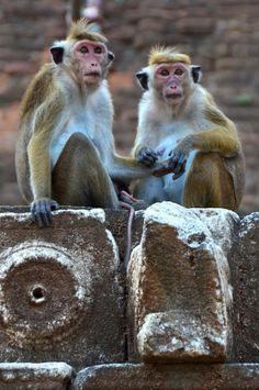 Monos en Jetavanramaya Temple en Anuradhapura, antigua capital de Sri Lanka.