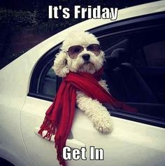 Bichon Frisé ready to go Christmas Shopping. Animals And Pets, Funny Animals, Cute Animals, Cute Puppies, Cute Dogs, Funny Dogs, Animal Pictures, Funny Pictures, Friday Pictures