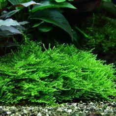 Taxiphyllum spec. Spiky, Spiky-Moos, Aquarienmoos
