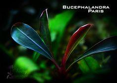 Bucephalandra paris