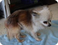 ***7/4/14 STILL  LISTED ADOPT-A-PET @ Fate, TX|LOOK AT THIS SWEET LITTLE OLE THING!!!*** Pomeranian/Chihuahua Mix. Meet Spike, a dog for adoption. http://www.adoptapet.com/pet/10979021-fate-texas-pomeranian-mix