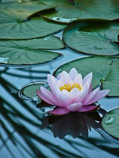 The lotus flower Flowers Nature, Exotic Flowers, Amazing Flowers, Lotus Flowers, Lotus Painting, Lily Painting, Lotus Flower Pictures, Flower Photos, Lotus Flower Wallpaper
