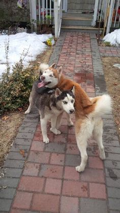 Found Dog - Siberian Husky in CENTEREACH, NY     	 Pet Name:	FOUND 2 male huskys   (ID# 51588) Gender:	Male Breed:	Siberian Husky Color:	Black Pet Size:	Large (40-75lbs) Pet Age:	1 year Date Found:	03/11/2014 Zip Code:	11720 (CENTEREACH, NY)     	 Pet Name:	FOUND 2 male huskys   (ID# 51588) Gender:	Male Breed:	Siberian Husky Color:	Black Pet Size:	Large (40-75lbs) Pet Age:	1 year Date Found:	03/11/2014 Zip Code:	11720 (CENTEREACH, NY) See All Found Dogs In CENTEREACH, NY