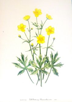 Flower Print - Tall Buttercup, Western Red Baneberry - 2 Sided - 1950's Vintage Botanical Illustration Book Page