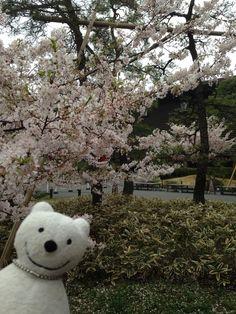 クマ散歩:国立劇場さくらまつりに品行方正なクマ出没2 The Bear went to National Theatre of Japan Cherry Blossom Festival!♪☆(^O^)/