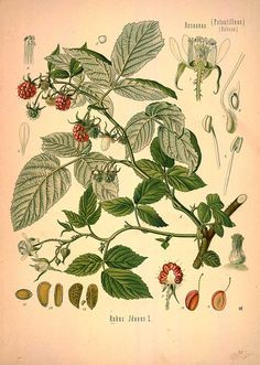 88 illustrations of Medicinal Botanical Plants. Franz Eugen Köhler's Medizinal-Pflanzen or Medicinal Plants was published in 1887 in Germany. It comes in four volumes and includes over 300 detailed, beautiful, botanical illustrations of plants. Below we supply 88 from Volume 1. The book was written by Kohler but the pictures were drawn by artists L. Müeller and C.F. Schmidt. http://plantcurator.com/medicinal-plants-german/