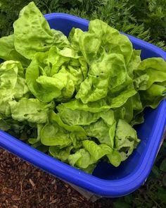 By kleintiereonline.de. . Kein Food wasting! Wir wollen keine Lebensmittel einfach wegwerfen. Die Natur hat sie uns gegeben, um sie zu nutzen. Es gibt immer einen Weg,dieses Ziel zu verfolgen. Auch unsere Kleintiere helfen uns dabei. Dieses Jahr sind bei uns alle Salate gleichzeitig, obwohl sie gestaffelt gesetzt wurden, pflückreif geworden. Die Lösung war, ein neues Rezept der französischen Küche auszuprobieren. . #kopfsalat #kopfsalatsuppe #gartenplanung #nahrungsmittelverwertung… Lettuce, Vegetables, Food, Simple, New Recipes, Goal, Berries, Essen, Vegetable Recipes