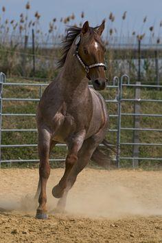 Quarter Horse stallion Peptos Bar