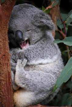 The koala, is Australia's national treasure and a rare and precious primitive arboreal in Australia. The English name Koala bear… Happy Animals, Nature Animals, Cute Baby Animals, Animals And Pets, Funny Animals, Smiling Animals, Wild Animals, Funny Koala, Animal Pictures