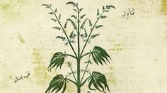 Ancient Roots: A drawing of a marijuana plant from 500 C.E.