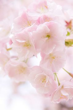 Cherry Blossoms 桜 | Flickr - Photo Sharing!