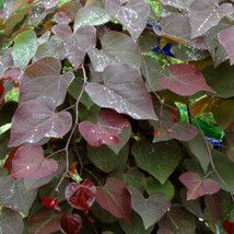 Cercis canadensis 'Ruby Falls' Weeping Redbud Developed by Dr. Werner @ NC State University