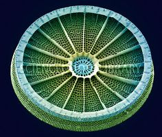 Coloured scanning electron micrograph (SEM) of the Arachnoidiscus sp. diatom. Picture by Steve Gschmeissner