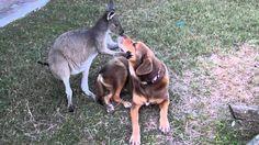 Canguru e cachorro se beijam