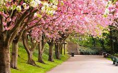 Afbeeldingsresultaat voor bloesem boom