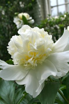 White peonies and it's delicate petals All Flowers, Exotic Flowers, Amazing Flowers, White Flowers, Beautiful Flowers, Yellow Roses, Purple Flowers, Pink Roses, Lilies Flowers