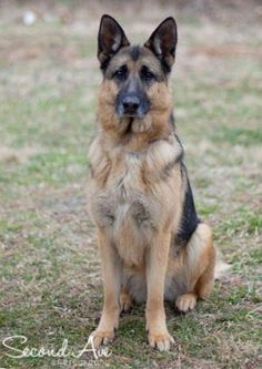 Meet Bella, a Petfinder adoptable German Shepherd Dog Dog | Aldie, VA | My name is Bella and everyone tells me I'm an exceptionally beautiful and intelligent, girl. I was...