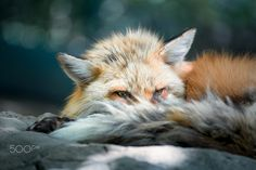 Red Fox by Disorn Lertchairit on 500px