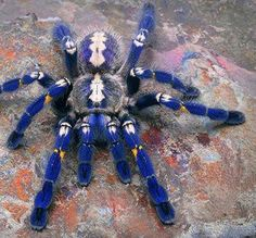 P. metallica is a species of tarantula. It reflects brilliant metallic blue color. This whole genus of arboreal tarantulas exhibits an intricate fractal-like pattern on the abdomen. The spider's natural habitat is primarily Southeastern India and Sri Lanka. P. metallica was first discovered in a town in central southern India called Gooty. Hence, its common name is Gooty Sapphire Ornamental Tree Spider, or simply Gooty Sapphire.