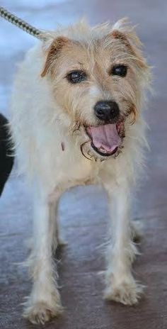 2/20/15 I am still homeless! Please come by to meet me, I would love to love you! I just want my own forever family. 12/31/14 sl - Junior - Jack Russell Terrier Mix • Senior • Male • Small Georgetown Animal Outreach Georgetown, TX