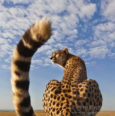 Super wide Cheetah Portrait byRichard Costin | Photo To Art Guy