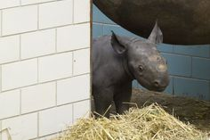 This baby rhino cannot BELIEVE how rude you are. | This Year's 45 Most Lovable Baby Animal Pictures