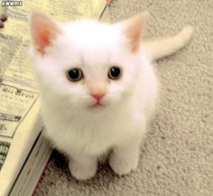 kk  another white kitty... I'd love to have a black kitten and a white kitten and raise them together!