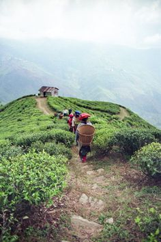 Les jardins de #thé escarpés du #Darjeeling Crédit photo : Jardins de Gaïa. www.teacampaign.ca  Source: see below.
