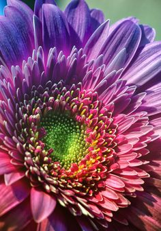 Rainbow Gerbera Daisy - Something bright, cheerful and pretty. Amazing Flowers, My Flower, Beautiful Flowers, Daisy Love, Gerber Daisies, Flowers Nature, Mother Nature, Planting Flowers, Orchids