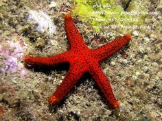 Red starfish Protoreaster nodosus,  commonly known as the horned sea star or chocolate chip sea star,  is a species of sea star found in the warm,  shallow waters of the Indo-Pacific region.  They are sometimes seen in the marine aquarium trade.