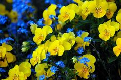 forget-me-nots + yellow pansies