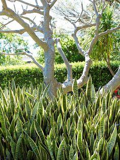 Sansevieria trifasciata with trunk