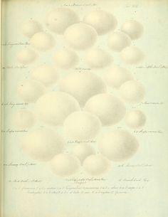 Zur Fortpflanzungsgeschichte der gesammten Vögel Dresden,[1856?]. biodiversitylibrary.org/page/13663334