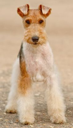 Wire Fox Terrier- my favorite breed, so cute, and I'm not even a dog person!