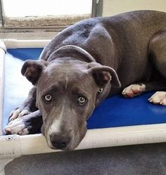 Temp Test score B - Adoption and Rescue Ready ! Sad, homeless dog waits for her owner's return Homeless Dogs, Waiting For Her, Rainbow Bridge, Pit Bulls, Animal Rescue, Pet Adoption, October 14, Dog Cat, Creatures