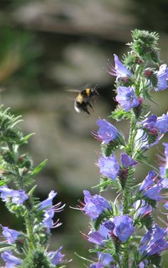 "June to September: Habitat Aid says that viper's bugloss ""is perhaps the bumblebee's favourite wildflower and a nectar magnet for butterflies and moths... One of the reasons Bugloss is such a good plant is that it flowers during a midsummer gap when there is surprisingly little forage about and honey bee colonies are at their biggest and hungriest."" Habitat Aid goes on to say that the reason why lavenders are so busy with bees is that they also flower during this period."