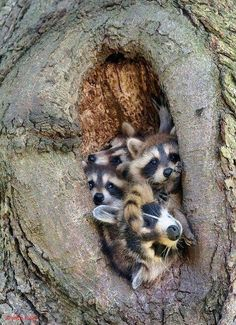 "By © John Isaac "" rosiesdreams: ""Crowded Racoon nest . By © John Isaac "" - Beliebt Süße Tiere Bilder Nature Animals, Animals And Pets, Beautiful Creatures, Animals Beautiful, Cute Baby Animals, Funny Animals, Raccoon Family, Tier Fotos, Animal Photography"