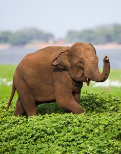 A wild Asian Elephant photographed in Minneriya National Park Sri Lanka. By Burrard Lucas