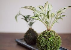kokedama- (bonsai and moss) Moss Graffiti, String Garden, Garden Terrarium, Plant Pictures, Outdoor Plants, Shade Garden, Ikebana, Indoor Garden, Garden Art