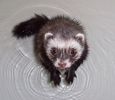Ferrets in the North: Soapy Stoat- bathing your ferret