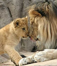 Lion dad and cub.