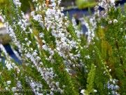 Calluna vulgaris October White