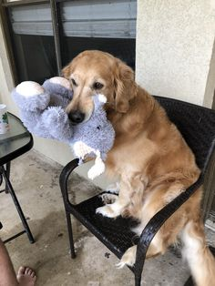 Anyone elses golden love to sit in chairs like a human? Asking for a friend. Cute Funny Animals, Cute Baby Animals, Funny Dogs, Animals And Pets, Beautiful Dogs, Animals Beautiful, Pet Dogs, Dog Cat, Doggies