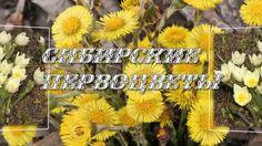 Сибирские первоцветы  Красивое видео  Siberian primroses   Beautiful video
