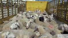Animals' Angels Lebanon Investigation, 2012 (Short Edit) Footage from an Animals' Angels investigation in Lebanon, 2012 regarding live exports from the EU to third countries. 3 minutes short version. A painful look at the reality.