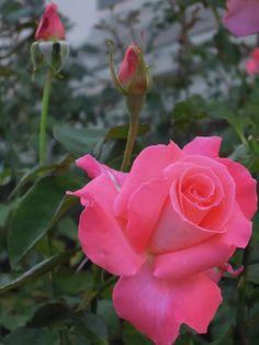 Pink Rose by Ilvi Oja on 500px