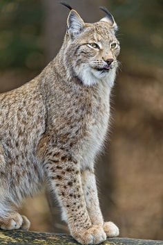 Lynx sitting on the branch