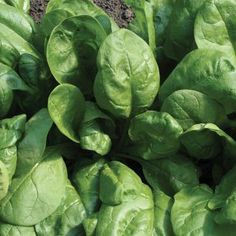 Regiment Organic Spinach Multi-use. Mildly savoyed, dark leaf is an ideal multi-use variety for spring or fall planting. Organic Seeds, Fall Plants, Organic Vegetables, Gardening, Green Leaves, Planting Flowers, Spinach, Herbs, Popular Pins